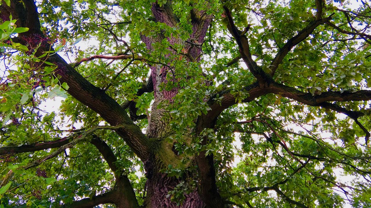 Die Krone der 300 Jahre alten Eiche von Flecken Zechlin